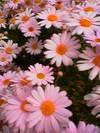 Pink_margalet